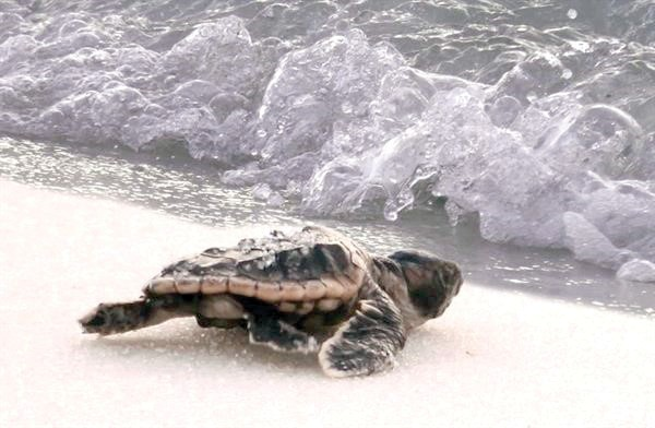 Sea turtles hatch on Pensacola Beach