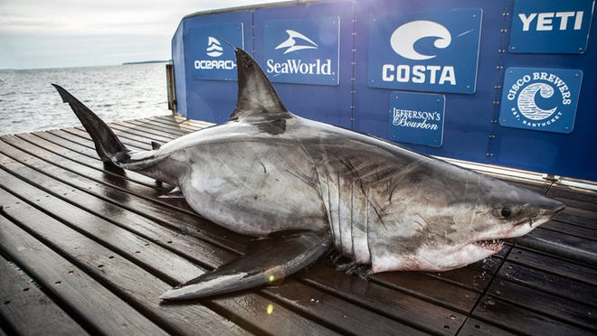 OCEARCH shows a 1,185-pound female great white shark near Pensacola Beach