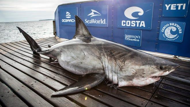 OCEARCH shows a 1,185-pound female great white shark near Pensacola Beach